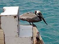 Pelican scanning for food