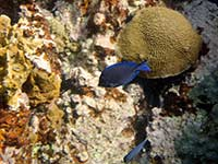 Blue tang and brain coral