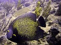 French Angelfish at the RMS Rhone