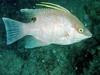 Greeneyed Hogfish