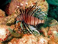 Lionfish at Creole Rock