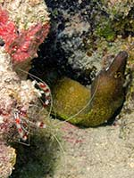 Cleaner shrimp and Moray
