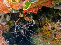 Cleaner Shrimp under the rocks