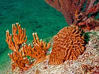 Coral at Ile Fourchue