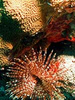 Feather anemone and gobies