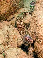 Spotted Moray Eel foraging