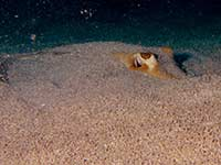 Southern Stingray buried in the sand