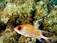 Squirrelfish in the shade