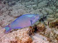 Parrotfish in Grand Case
