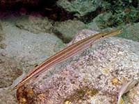 Trumpetfish hovering
