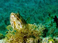 Lizardfish up close