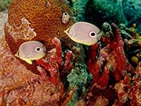 A pair of foureyed Butterflyfish