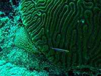 Cleaning Goby in coral