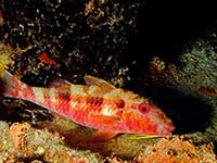 Spotted Goatfish resting