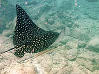 Spotted Eagle Ray and friends