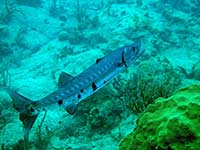 Great Barracuda slowly swimming away