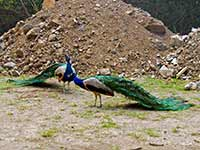 Peacocks fighting