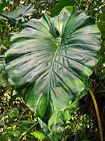Large leaves in the forest