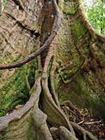 Buttressed roots