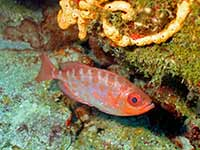 Bigeye under the coral
