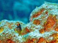 Curious Damselfish