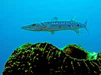 Barracuda over a sponge