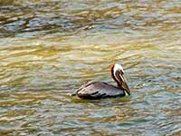 Pelican after a missed dive