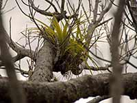 Epiphytic growths