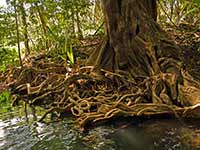 Tree roots holding up the banks