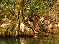 Tree roots on the Indian River