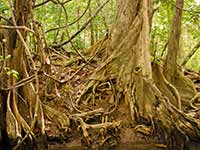 These widespread root systems hold the banks