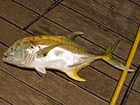 Dockside Yellow Jack