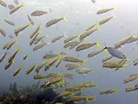 Yellowtail Snapper and Yellow Goatfish