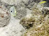 Butterflyfish looking at me