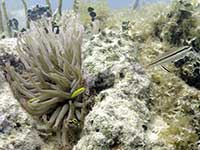 Gobies in the Giant Anemone