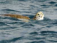 Anchorage turtle