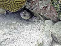 Purplemouth Moray hiding