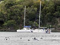 Dolphins in Deshaies
