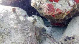Spotted Trunkfish hiding the shadows