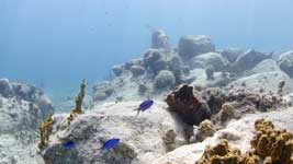 Blue Chromis hovering over the reef.