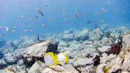A pair of Spotfin Butterflyfish