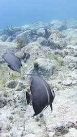 A pair of Gray Angelfish frolicking