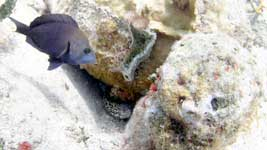 Black Hamlet and Spotted Moray Eel