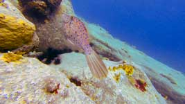 Colombier scrawled filefish