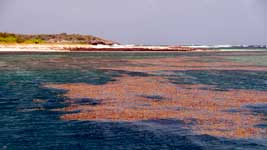 Sargasso at Green Island