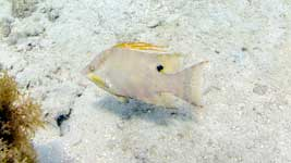 Hogfish over the sand