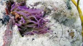 Yellowline Arrow Crab in the Giant Anemone