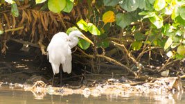 White heron at the Indian River