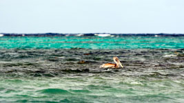 Pelican floating off Green Island